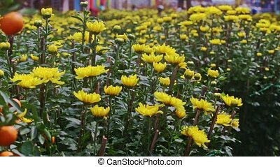 View from Yellow Chrysanthemums to Tangerine Tree at Sunlight