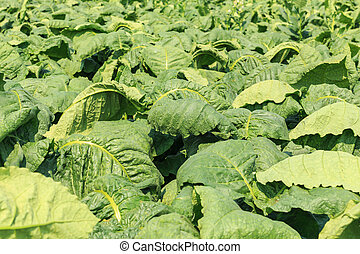View green leaf of tobacco plant in field