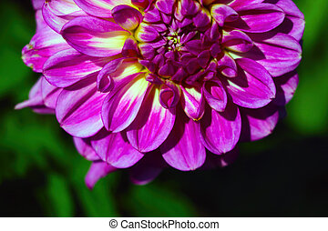 View of a beautiful dahlia flower in the park on a sunny day.