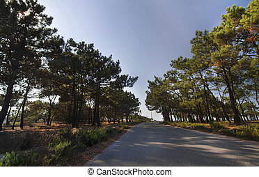 beautiful road surrounded by pine trees