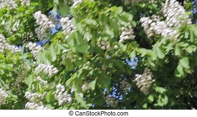 View of a flowering tree in summer sunny day. Camera is...