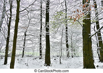 View of a forest with fresh young beech leaves and some old leaves from last year covered in snow