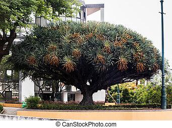 Dracaena draco tree