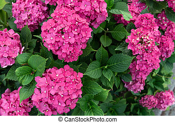 View of a lush bush of pink hydrangea. Plant concept, nature