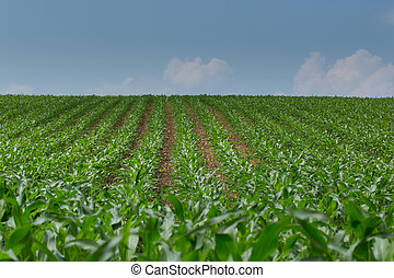 View of a natural green cornfield with blue sky