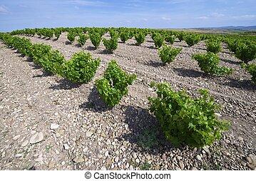 View of a vineyard Fuendejalon, Zaragoza, Aragon, Spain