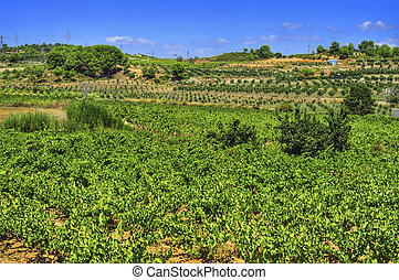 vineyard with ripe grapes in Catalonia, Spain