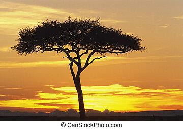 Acacia Tree - View of an orange and yellow sunrise through ...