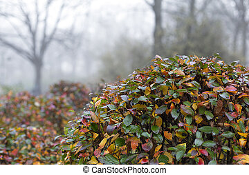 View of autumn park with shiny cotoneaster - View of autumn...