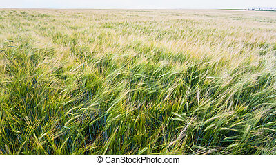 view of barley field in France