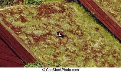 View of black and white crow sit in yellow grass on roof of little house with. Summer sunny day.