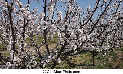 Richly blooming apricot trees garden in sunny spring day