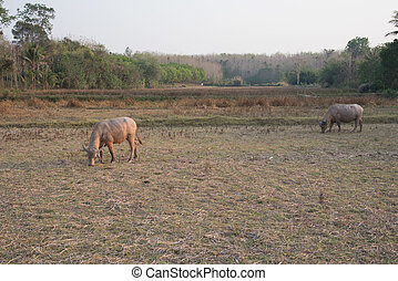 view of buffaloes in the field