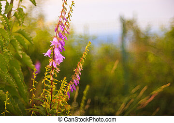 Campanula flowers - View of Campanula flowers in the ...