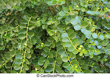 Capers plant - View of Capers plant in Pantelleria, Sicily