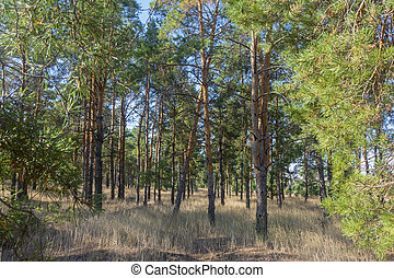 View of coniferous trees inside the forest. Pine forest in autumn sunlight