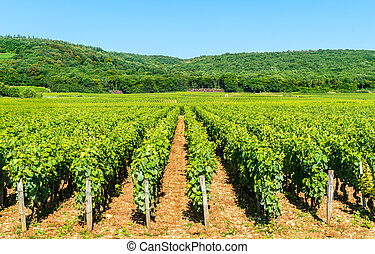 View of Cote de Nuits vineyards in Burgundy, France
