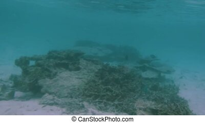 View of cute little fish hiding under coral. Snorkeling. Underwater world of Indian Ocean. Maldives.