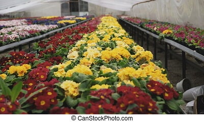 View of different colourful kinds of flowers in greenhouse...