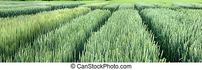 view of divided sectors demo plots of cereals, new varieties in agriculture