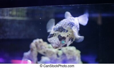 View of exotic tropical balloonfish also known as spiny porcupinefish and spiny puffer behind glass of aquarium. High quality FullHD footage