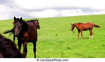 View of farm horses on pasture. Weed management plans for horse pastures