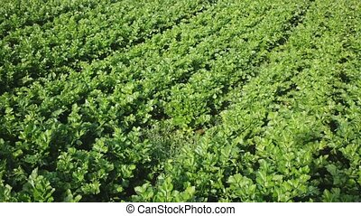 Closeup of fresh green celery leaves on large plantation in sunny day