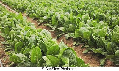 Closeup of fresh green Swiss chard growing on large plantation on spring day