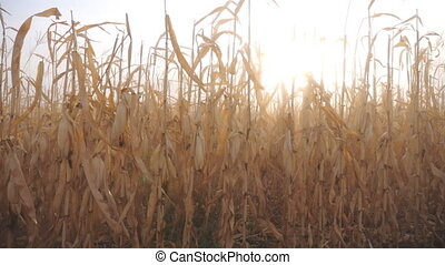 View of field with dry yellow corn stems with sunset at background. Scenic farmland during harvesting. Beautiful autumn season. Agriculture concept. Slow motion.