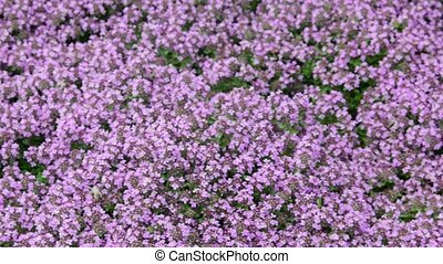 View of flowers background in wind. Violet flowers background. Closeup. Low DOF