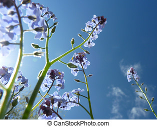 Forget Me Not - View of Forget Me Not plant against blue sky