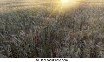 view of golden wheat gently swaying in breeze.