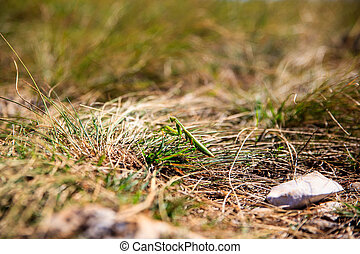 Mantis religiosa on the grass - View of green Mantis...