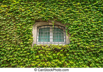 View of house facade with wall and windows, covered by overgrown creeper plant
