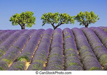 View of lavander field in France