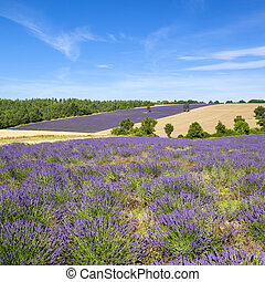 View of Lavender field in Provence