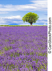 View of Lavender field with tree in Provence
