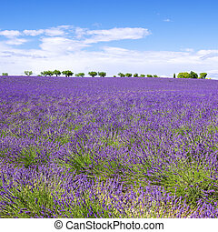View of Lavender field with trees in Provence