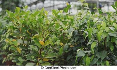 View of lemon tree seedlings in greenhouse. 4K.