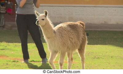 Close up low angle panning shot of a male Llamas being attracted to a mate at a tourist field location, Cusco, Peru