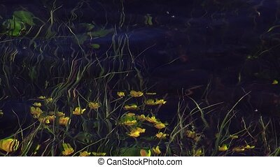 View of many yellow flowers wave under clear water of river. Summer day. Nature. Green stems