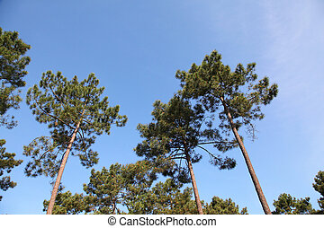 View of pine forest with blue sky