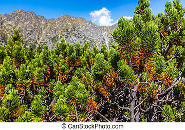 View of pine tree Tatra Mountains from hiking trail. Poland. Europe.