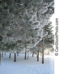 View of pine trees in winter on a frosty day.