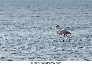 View of pink flamingo bird in Evros, Greece.