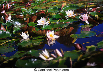 Nymphaea called Water Lilly - View of pond with Nymphaea...