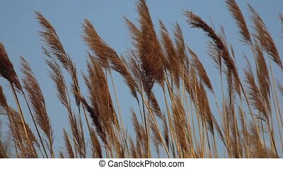 Reeds in the wind - View of Reeds in the wind