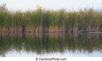 View of river reeds or cane - View of river reeds, sedge or...