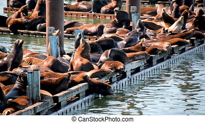 View of Sea Lions in Oregon - View of Sea Lions on a dock in...