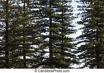 tall norfolk pine trees
